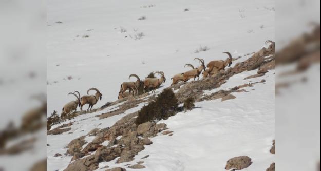 Av Turizmi kotaları belirlendi, Niğde'de 18 Yaban Keçisi avı yapılacak