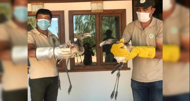 Bakıma muhtaç halde bulunan flamingo yavruları tedavi altına alındı