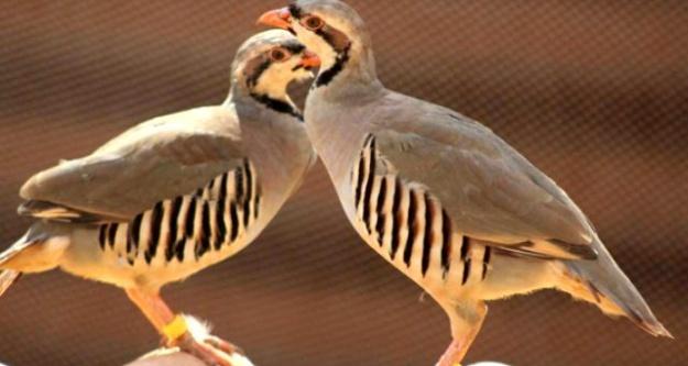 Ulukışla'da Doğaya 25 Keklik Bırakıldı