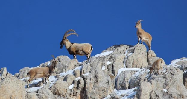 Aladağlarda yaban keçi sayısı 17 yılda 2 bin 201'e yükseldi