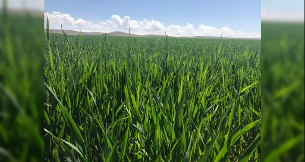 Tarım müdürlüğü buğday üreticilerini uyardı
